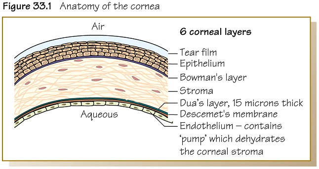 Nice Anatomy Of The Cornea Motif - Internal organs diagram ...