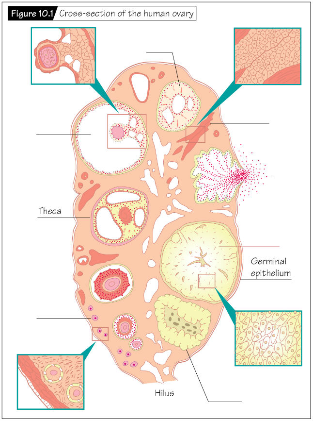 Heffner: The Reproductive System at a Glance (4/e)